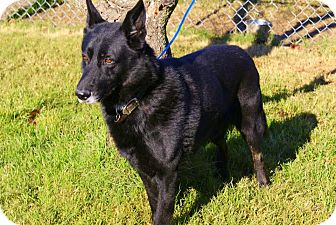 German Shepherd Dog Mix Dog for adoption in Yuba City, California - 12/19 Logan