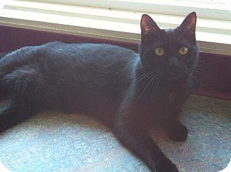 Domestic Shorthair Cat for adoption in Topeka, Kansas - Halo
