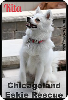 American Eskimo Dog Puppy for adoption in Elmhurst, Illinois - Kita