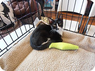 Domestic Shorthair Kitten for adoption in Horsham, Pennsylvania - Lucky