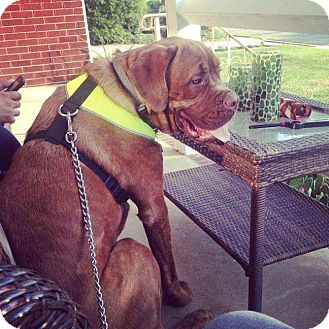 Dogue de Bordeaux/Cane Corso Mix Dog for adoption in Mount Royal, New Jersey - Major...big mush