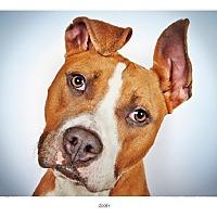 Adopt A Pet :: Zooey - New York, NY