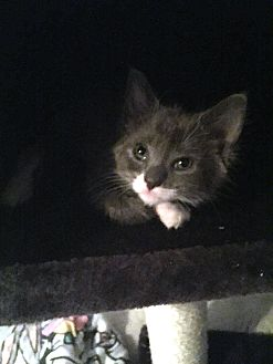 Domestic Shorthair Cat for adoption in Bayonne, New Jersey - Dolfina