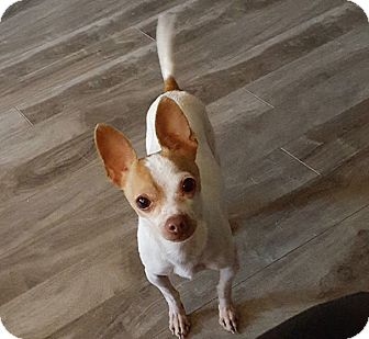 Chihuahua Mix Dog for adoption in Barriere, British Columbia - Paco - ADOPTION PENDING