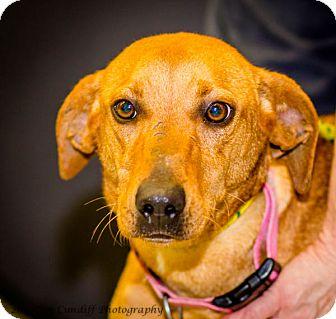 Vizsla Mix Dog for adoption in Martinsville, Indiana - Sophie