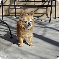 Adopt A Pet :: Ewok - Loveland, CO