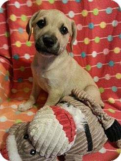 Pit Bull Terrier/Hound (Unknown Type) Mix Puppy for adoption in Pompton Lakes, New Jersey - demi
