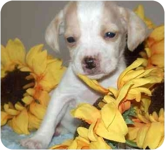 Beagle Mix Puppy for adoption in Provo, Utah - BEAGLE MIX PUPPIES