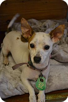 Chihuahua/Dachshund Mix Dog for adoption in Beaumont, Texas - Honey Dew