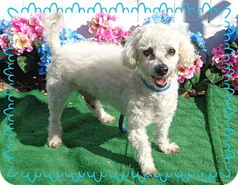 Poodle (Miniature) Dog for adoption in Marietta, Georgia - WILL