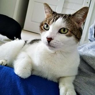 Domestic Shorthair Cat for adoption in Spring Lake, New Jersey - Lara