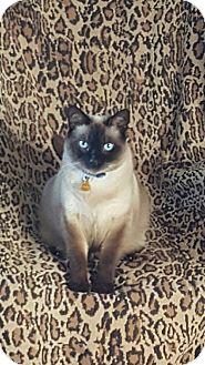 Siamese Cat for adoption in Laguna Woods, California - Samauri (Sami)