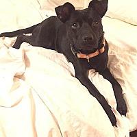 Adopt A Pet :: Isabelle - Allison Park, PA