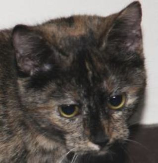 Domestic Shorthair/Domestic Shorthair Mix Cat for adoption in Tilton, Illinois - Myra