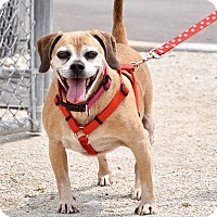 Pug Mix Dog for adoption in Wheaton, Illinois - Rocky