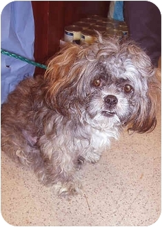 Shih Tzu/Cairn Terrier Mix Dog for adoption in New York, New York - Fiona