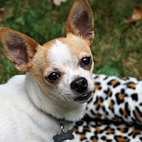 Adopt A Pet :: Wesley-Bonded to Buttercup - Maple Grove, MN