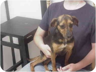 Beagle/Dachshund Mix Dog for adoption in Manassas, Virginia - Cher
