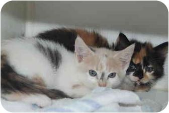 Domestic Shorthair Kitten for adoption in Putnam Hall, Florida - Magnolia