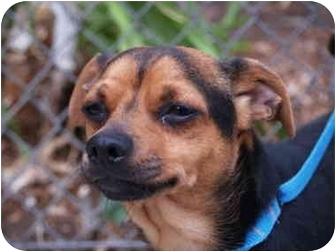 Chihuahua Mix Dog for adoption in El Cajon, California - Bugsy
