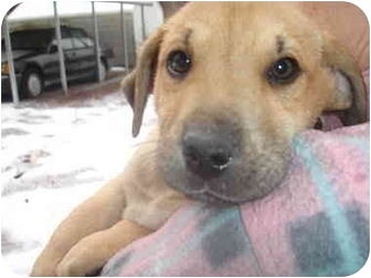 German Shepherd Dog/Labrador Retriever Mix Puppy for adoption in Old Bridge, New Jersey - Parker