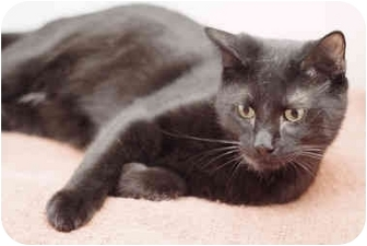 Domestic Shorthair Cat for adoption in Markham, Ontario - Desiree