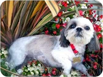 Shih Tzu Dog for adoption in Los Angeles, California - FLORA