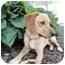 Photo 2 - Golden Retriever Mix Dog for adoption in Spruce Pine, North Carolina - Gabe
