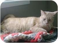Domestic Shorthair Cat for adoption in Creston, British Columbia - Ginger