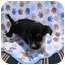 Photo 2 - Chihuahua/Rat Terrier Mix Puppy for adoption in Rochester, New Hampshire - Tiny