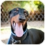 Photo 1 - Doberman Pinscher Dog for adoption in Santee, California - Chance