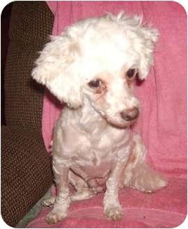 Maltese/Maltese Mix Dog for adoption in Umatilla, Florida - Katie