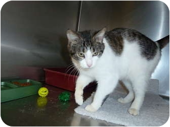 Domestic Shorthair Cat for adoption in South Haven, Michigan - Mama