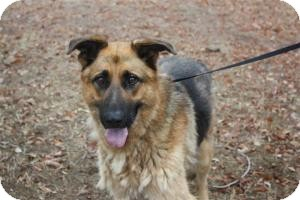 German Shepherd Dog Dog for adoption in East Hartford, Connecticut - rocky in CT