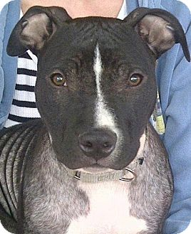 Bull Terrier/American Bulldog Mix Puppy for adoption in North Olmsted, Ohio - Theo
