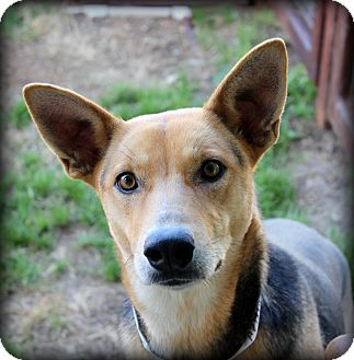 Shepherd (Unknown Type)/Carolina Dog Mix Dog for adoption in Fort Worth, Texas - Georgia Love