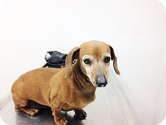 Dachshund Dog for adoption in Lubbock, Texas - Ginger
