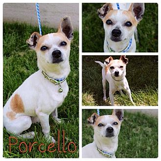 Chihuahua Mix Dog for adoption in Garden City, Michigan - Porcello