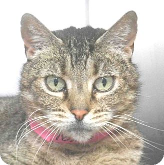 Domestic Shorthair Cat for adoption in Tinton Falls, New Jersey - Lily