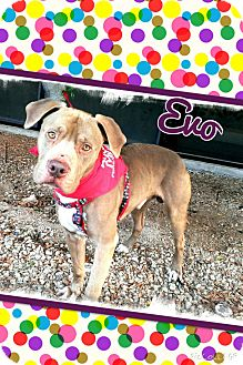 Pit Bull Terrier Mix Dog for adoption in Apache Junction, Arizona - Evo