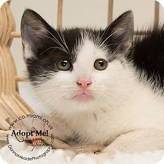 Domestic Shorthair Kitten for adoption in Troy, Ohio - Mason-ADOPTED