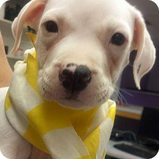 American Pit Bull Terrier Mix Puppy for adoption in Scottsdale, Arizona - Tiari