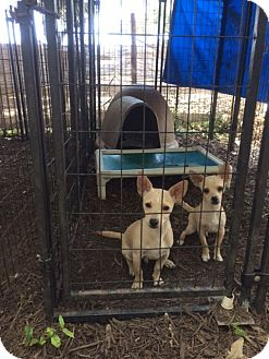 Chihuahua/Terrier (Unknown Type, Small) Mix Puppy for adoption in Fair Oaks Ranch, Texas - Tom & Jerry