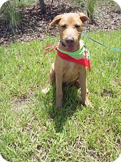 Labrador Retriever/Shepherd (Unknown Type) Mix Puppy for adoption in Green Cove Springs, Florida - Mel