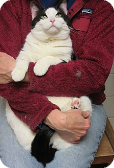 Domestic Shorthair Cat for adoption in Roseville, Minnesota - Betsy