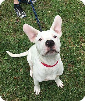 Labrador Retriever/American Bulldog Mix Dog for adoption in San Jose, California - Billie