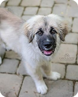 Leonberger Mix Dog for adoption in Cincinnati, Ohio - Leo
