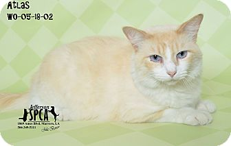 Domestic Shorthair Cat for adoption in New Orleans, Louisiana - Atlas