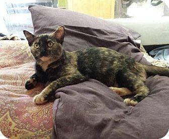 Domestic Shorthair Kitten for adoption in Hendersonville, North Carolina - Farrah