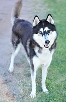Siberian Husky Dog for adoption in Scottsdale, Arizona - Eli